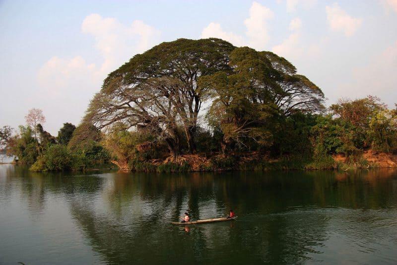 tree on the river don det laos